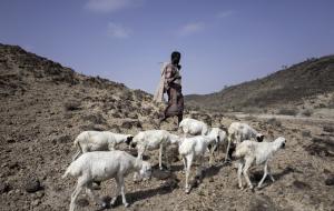에티오피아 목축업자들에게 가장 치명적인 OOOO는?