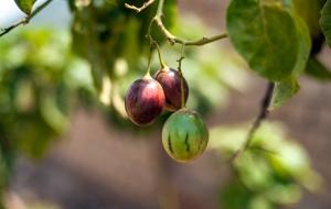 르완다 Tree Tomato(나무 토마토) – 작은 씨앗으로 사람들의 삶을 변화시키는 이야기